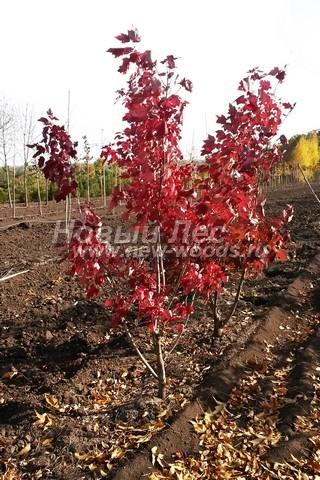 Посадка крупномеров лиственных деревьев Клена красного