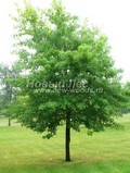 Лиственный крупномер Клен сахаристый (Клен серебристый) (Acer saccharinum)