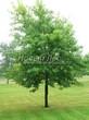 Лиственный крупномер Клен серебристый (сахаристый) (Acer saccharinum) - 101
