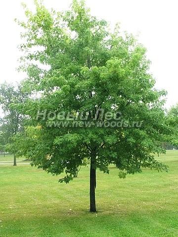 Клен серебристый (Клён сахаристый): посадка крупномеров лиственных деревьев