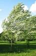 Лиственный крупномер Клен серебристый (сахаристый) (Acer saccharinum) - 102