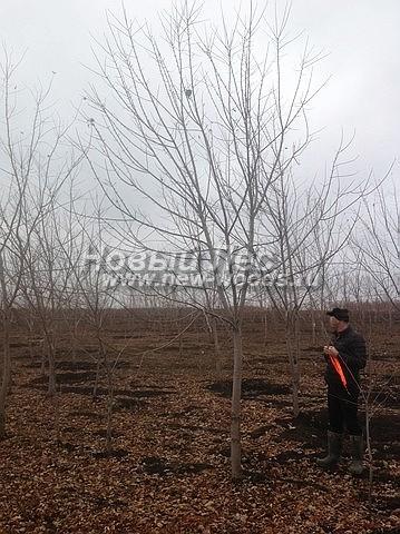 Клен серебристый: лиственный крупномер