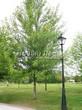 Лиственный крупномер Клен серебристый (сахаристый) (Acer saccharinum) - 104