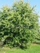 Лиственный крупномер Клен серебристый (сахаристый) (Acer saccharinum) - 106