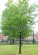 Лиственный крупномер Клен серебристый (сахаристый) (Acer saccharinum) - 107