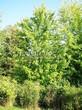 Лиственный крупномер Клен серебристый (сахаристый) (Acer saccharinum) - 108