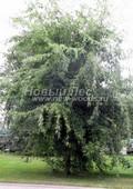 Лиственный крупномер Клен сахаристый (Клен серебристый) Лациниатум Виери (Лачиниатум Уэйери) (Acer saccharinum 'Laciniatum Wieri')