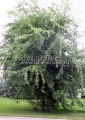 Клён серебристый (Клён сахаристый) Лациниатум Виери (Acer saccharinum 'Laciniatum Wieri')