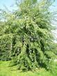 Лиственный крупномер Клен серебристый Лациниатум Виери (Клен сахаристый Лачиниатум Уэйери) (Acer saccharinum 'Laciniatum Wieri') - 101