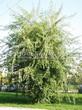 Лиственный крупномер Клен серебристый Лациниатум Виери (Клен сахаристый Лачиниатум Уэйери) (Acer saccharinum 'Laciniatum Wieri') - 103