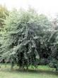 Лиственный крупномер Клен серебристый Лациниатум Виери (Клен сахаристый Лачиниатум Уэйери) (Acer saccharinum 'Laciniatum Wieri') - 105