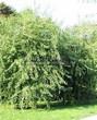 Лиственный крупномер Клен серебристый Лациниатум Виери (Клен сахаристый Лачиниатум Уэйери) (Acer saccharinum 'Laciniatum Wieri') - 106