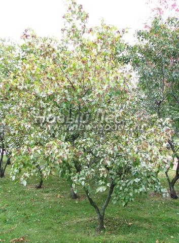 Лиственный крупномер Клен татарский (Acer tataricum)