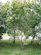 Лиственный крупномер Клен татарский (Acer tataricum) - 101