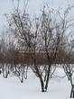 Лиственный крупномер Клен татарский (Acer tataricum) - 103
