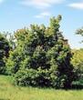 Лиственный крупномер Клен татарский (Acer tataricum) - 104