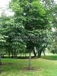Лиственный крупномер Конский каштан обыкновенный (Aesculus hippocastanum) - 101