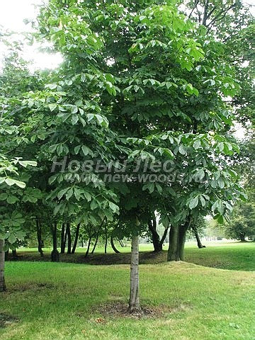 Конский каштан обыкновенный: посадка крупномеров лиственных деревьев