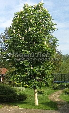 Посадка крупномеров лиственных деревьев Конского каштана обыкновенного