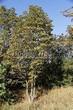 Лиственный крупномер Конский каштан обыкновенный (Aesculus hippocastanum) - 103