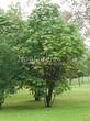 Лиственный крупномер Конский каштан обыкновенный (Aesculus hippocastanum) - 104