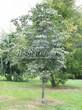 Лиственный крупномер Конский каштан обыкновенный (Aesculus hippocastanum) - 106