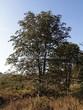 Лиственный крупномер Конский каштан обыкновенный (Aesculus hippocastanum) - 107