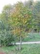 Лиственный крупномер Конский каштан обыкновенный (Aesculus hippocastanum) - 108