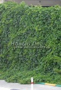 Лиственный крупномер Девичий виноград пятилисточковый (Parthenocissus quinquefolia)