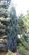 Посадка крупномеров Можжевельника скального Блю Эрроу (Блу Арроу) (Juniperus scopulorum 'Blue Arrow') - 201