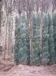 Посадка крупномеров Можжевельника скального Блю Эрроу (Блу Арроу) (Juniperus scopulorum 'Blue Arrow') - 202