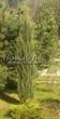 Посадка крупномеров Можжевельника скального Блю Эрроу (Блу Арроу) (Juniperus scopulorum 'Blue Arrow') - 203