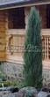 Посадка крупномеров Можжевельника скального Блю Эрроу (Блу Арроу) (Juniperus scopulorum 'Blue Arrow') - 204