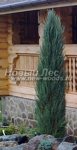 Можжевельник скальный Блю Эрроу (Блу Арроу): хвойный крупномер