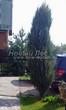 Посадка крупномеров Можжевельника скального Блю Эрроу (Блу Арроу) (Juniperus scopulorum 'Blue Arrow') - 205