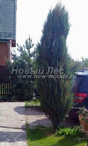 Можжевельник скальный Блю Эрроу (Блу Арроу): посадка крупномеров хвойных деревьев