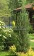 Посадка крупномеров Можжевельника скального Блю Эрроу (Блу Арроу) (Juniperus scopulorum 'Blue Arrow') - 206