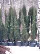 Посадка крупномеров Можжевельника скального Блю Эрроу (Блу Арроу) (Juniperus scopulorum 'Blue Arrow') - 207