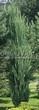 Посадка крупномеров Можжевельника скального Блю Эрроу (Блу Арроу) (Juniperus scopulorum 'Blue Arrow') - 208