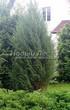 Посадка крупномеров Можжевельника скального Скайрокет (Juniperus scopulorum 'Skyrocket') - 201