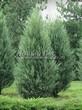 Посадка крупномеров Можжевельника скального Скайрокет (Juniperus scopulorum 'Skyrocket') - 202