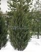 Посадка крупномеров Можжевельника скального Скайрокет (Juniperus scopulorum 'Skyrocket') - 203