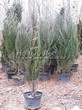 Посадка крупномеров Можжевельника скального Скайрокет (Juniperus scopulorum 'Skyrocket') - 204
