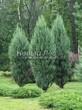 Посадка крупномеров Можжевельника скального Скайрокет (Juniperus scopulorum 'Skyrocket') - 205