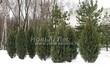 Посадка крупномеров Можжевельника скального Скайрокет (Juniperus scopulorum 'Skyrocket') - 206