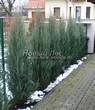 Посадка крупномеров Можжевельника скального Скайрокет (Juniperus scopulorum 'Skyrocket') - 207
