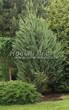 Посадка крупномеров Можжевельника скального Скайрокет (Juniperus scopulorum 'Skyrocket') - 208