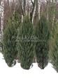 Посадка крупномеров Можжевельника скального Скайрокет (Juniperus scopulorum 'Skyrocket') - 209