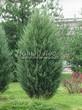 Посадка крупномеров Можжевельника скального Скайрокет (Juniperus scopulorum 'Skyrocket') - 210
