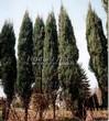 Посадка крупномеров Можжевельника скального Скайрокет (Juniperus scopulorum 'Skyrocket') - 211